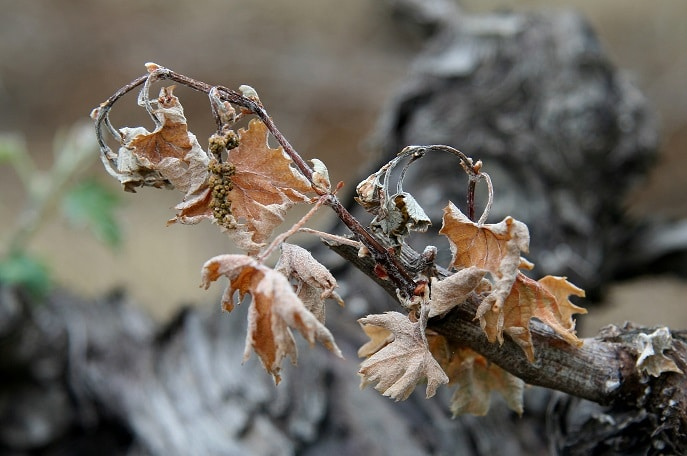 Grapevine decline is associated with difference in soil microbial composition and activity